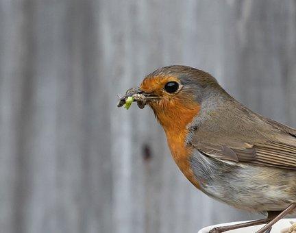Bird, Robin, Branch, Perched, Beak, Robin Redbreast