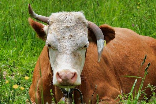 Cow, Horns, Ruminant, Animal, Portrait