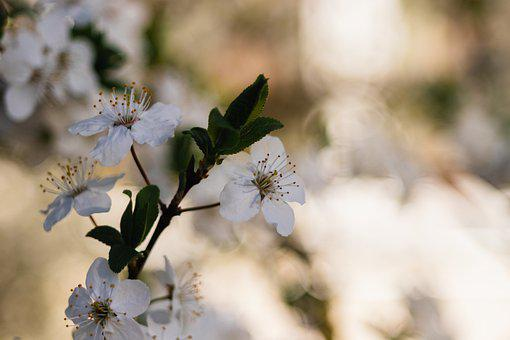 Flowers, Tree, Cherry, Plum, Bloom, Nature, Spring