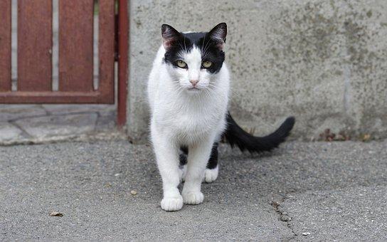 Cat, Pet, Feline, Looking, Rob, White, Black, Standing