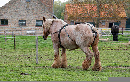 Horse, Belgian Horse, Draft Horse, Horse Breed, Mare