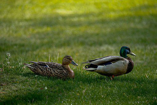 Ducks, Mallards, Pair, Grass, Waddling, Waterfowls
