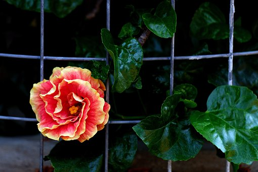 Hibiscus, Flower And Fence, Blooming