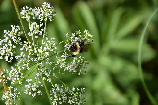 Bee, Weeds, Pollinat, Pollination, Flora, Insect