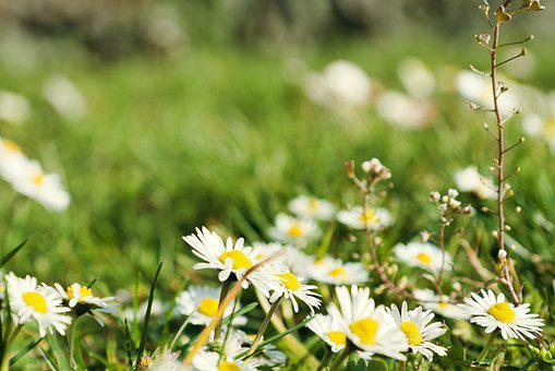 Daisies, Field, Meadow, White Flowers, White Daisies