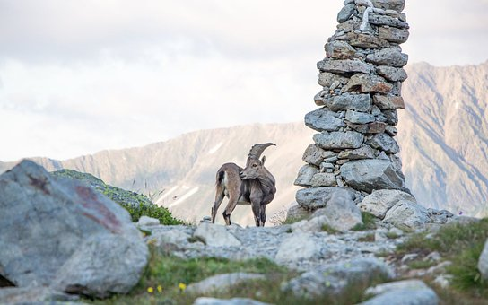 Goat, Ruminant, Horns, Sheep, Mountain, Nature, Mount