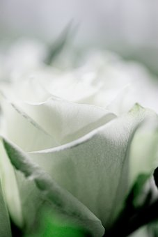 White, Rose, Blossom, Bloom, Nature, Flower, Bouquet