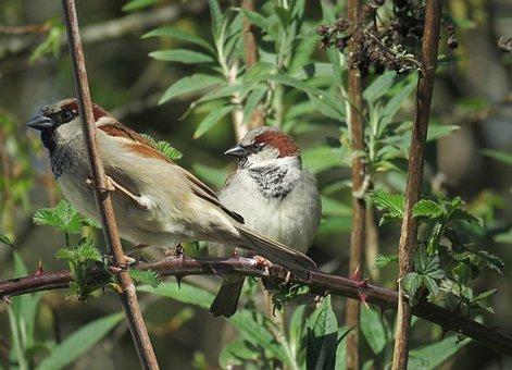 Birds, Sparrows, Pair, Perched, Perched Birds, Tree