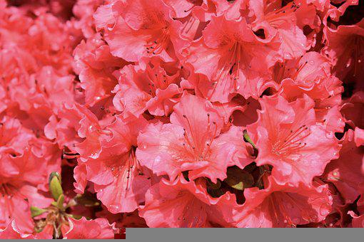 Rhododendron Flowers, Rhododendron Pink Color, Plants