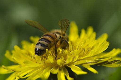 Honey Bee, Dandelion, Pollen, Pollinate, Pollination