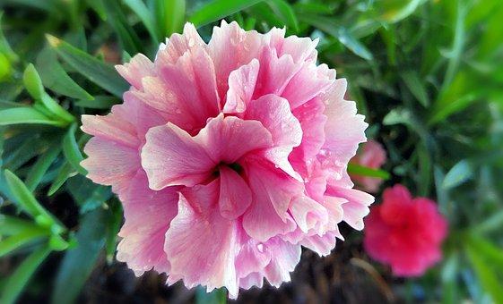 Carnation, Flower, Dew, Wet, Dewdrops, Raindrops