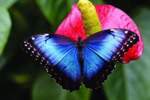 Butterfly, Blue, Insects, Nature, Butterflies, Animals