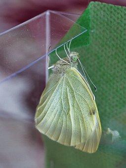 Butterfly, Wings, Green Butterfly, Butterfly Wings