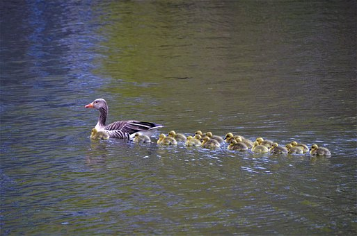 Canada Geese, Grey Geese, Family Outing, Osterbek Canal