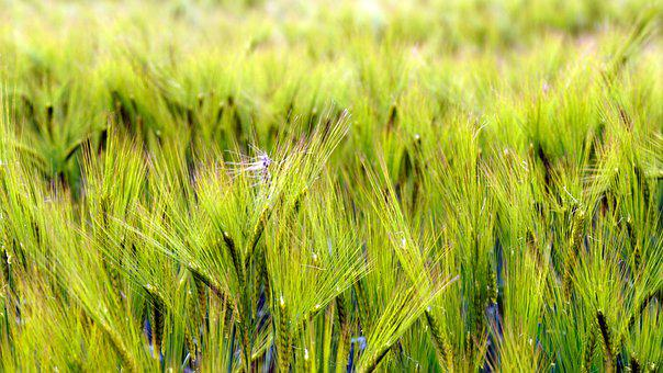 Field, Cornfield, Cereals, Spikes, Arable, Agriculture