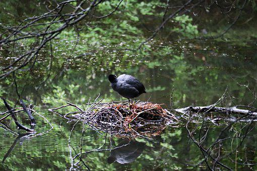 Coot, Nest, Water, Reflection, Water Reflection