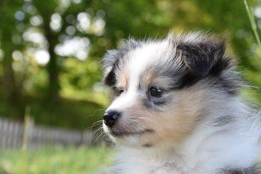 Dog, Puppy, Puppy Dog, Shetland Sheepdog Sammy, Cute