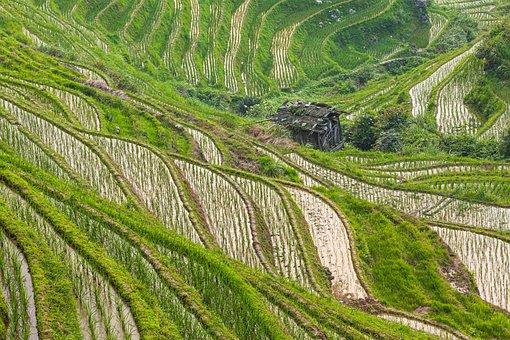 Rice Fields, Rice Paddies, Rice Terraces, Farm
