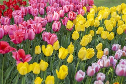 Tulips, Colorful, Flowers, Field, Garden, Tulip Garden