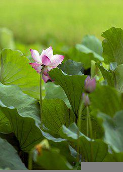 Lotus Flowers, May Flowers Bloom, Fragrance
