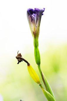 Iris, Flower, Bud, Purple Flower, Plant, Garden, Nature