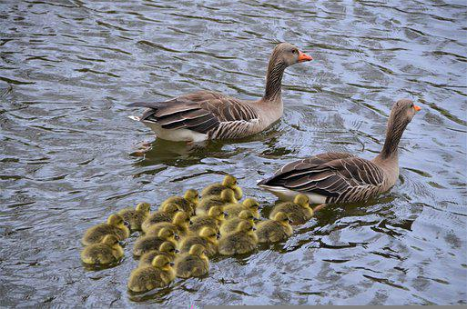 Grey Geese, Canada Geese, Family Outing, Gosling