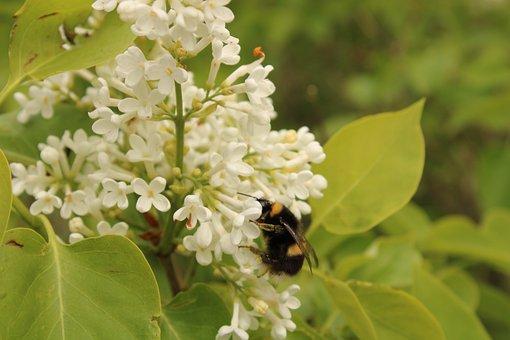 Hummel, Beetle, Flower, Pollen, Garden, Bee, Nature