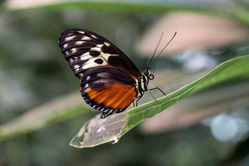 Butterfly, Wings, Leaf, Winged Insect, Insect