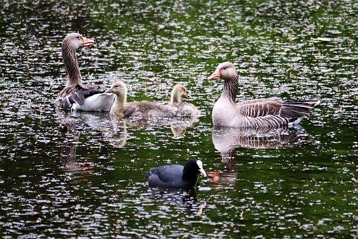 Greylag Goose, Birds, Lake, Animals, Goslings, Family