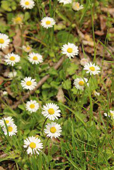 Daisies, White Daisies, Flowers, White Flowers, Meadow
