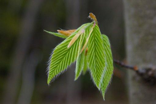 Ash, Buds, Woodlands, Leaf, Spring, Nature, Branch
