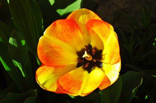 Flowers, Tulip, Spring, Nature, Plant, Garden