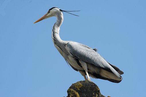 Heron, Bird, Plumage, Hunter, Waterfowl, Beak