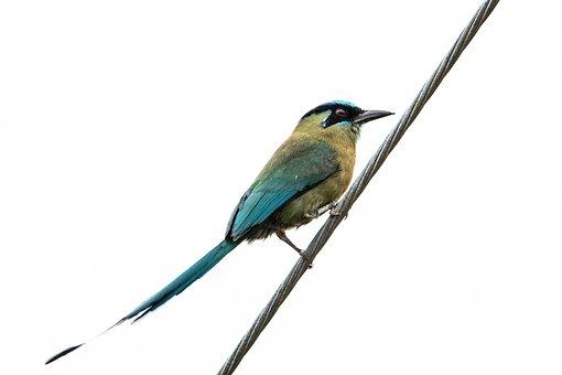 Ave, Momotidae, Ornithology, Tail, Plumage, Colorful