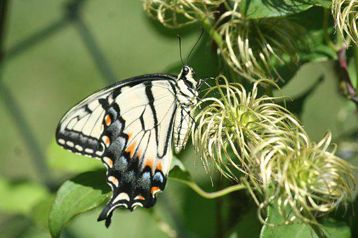Butterfly, Swallowtail, Pollinate, Pollination, Flowers
