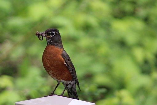 Robin, Canada, Birds, Wild Animals, Prey