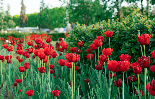 Tulips, Park, Garden, Red Tulips, Flowers, Red Flowers