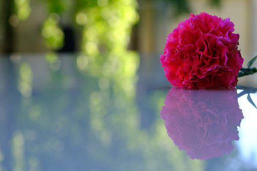 Flower, Carnation, Reflection, Pink Carnation