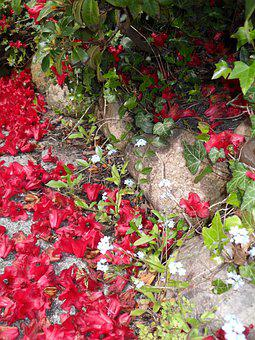 Alpine Rose, Red, Rhododendron
