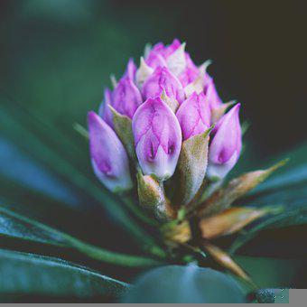 Bloom, Flower, Nature, Flora, Rhododendron, Spring