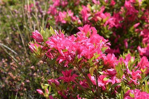 Flowers, Rhododendrons, Plants, Spring-flowering