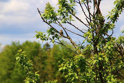 Sparrow, Branch, Sperling, Bird, Animal, Bush, Garden