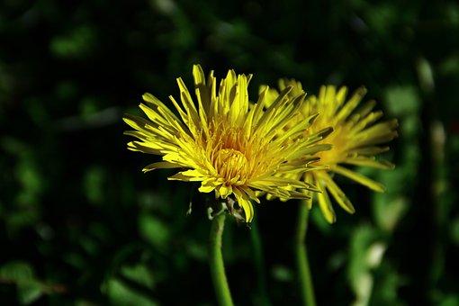 Dandelion, Bloom, Spring, Nature, Plant, Meadow, Flower