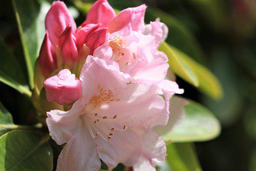 Rhododendron, Pink, Petals, The Buds, Bloom, Flower
