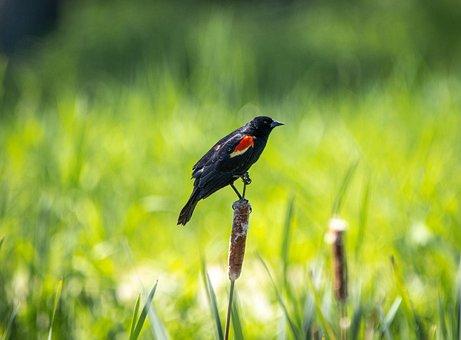 Carouge, Bird, Nature, Pen, Wild, Beak, Wing, Nest