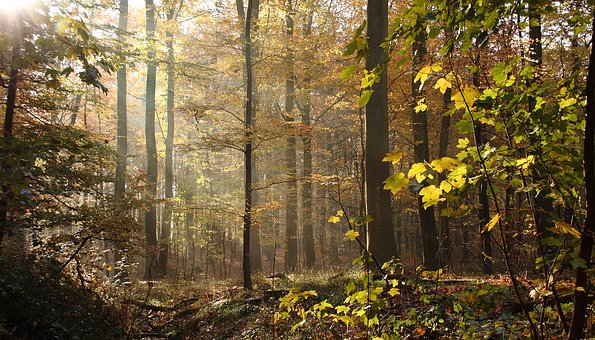 Forest, Trees, Beeches, Autumn Leaves, Autumn