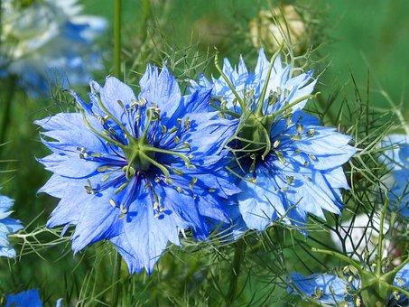 Nigella, Blue Flower, Blue Star, Beauty, Garden