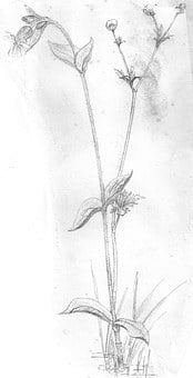 Flower, Plant, Blossom, Bloom, Sketch, Drawing