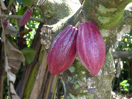Cocoa, Chocolate, Candy, Fruit, Harvest, Tree, Ripe