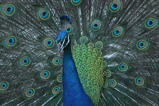 Peacock, Bird, Colorful, Peafowl, Green, Male, Feather